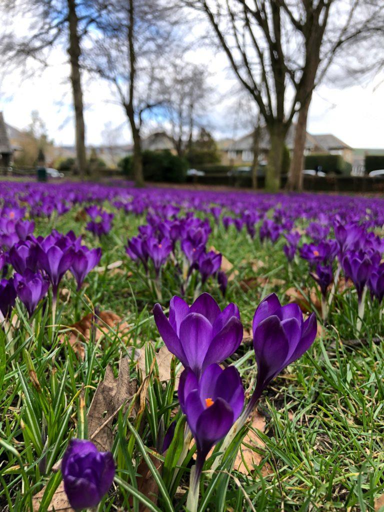 Purple flowers spread across a park